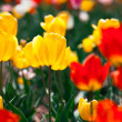 Colorful yellow and red spring flowers tulips — Stock Photo #27173071