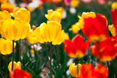 Colorful yellow and red spring flowers tulips — Stock Photo