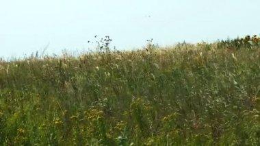 Windy meadow — Stock Video