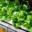 Hydroponics Vegetable, nutrition in future. — Stock Photo #37158641