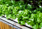 Hydroponics Vegetable, the nutrition in the future. — Stock Photo