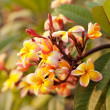 Plumeria. Beautiful pink inflorescence. — Stockfoto #41655581