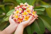 Woman's hand holds Frangipani (Plumeria rubra) — Stock Photo
