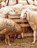 Sheeps on a farm — Stock Photo