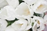 White tulips. — Stock Photo