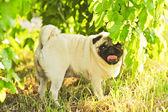 Schattig pug — Stockfoto