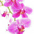 Stock Photo: Branch of violet orchid,isolated