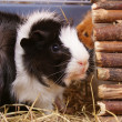 Guinea Pig — Stock Photo #19303085