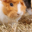 Guinea Pig — Stock Photo #19303089