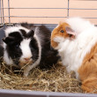 Guinea Pig — Stock Photo #19303111