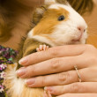 Guinea Pig — Stock Photo #19303203