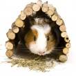 Guinea Pig — Stock Photo #19303231