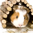 Guinea Pig — Stock Photo #19303241
