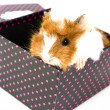 Guinea Pig — Stock Photo #19303359