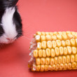 Little guinea pig eating corn — Stock Photo
