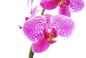 Branch of violet orchid,isolated — Stockfoto