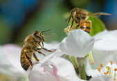Honey Bee on Apple blossom — Stock Photo