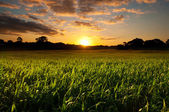 Sunset over a field of grass — Stock Photo