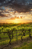 Barossa Vineyards at sunset — Stock Photo