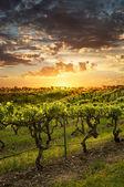 Barossa viñedos al atardecer — Foto de Stock
