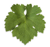 Grape Vine Leaf — Stock Photo