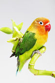 Parrot and lucky bamboo — Stock Photo