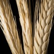 The ears of wheat on black background — Stock Photo