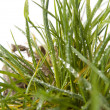Stock Photo: Tuft of grass