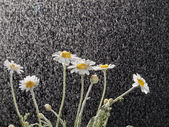 Camomiles in the rain — Stock Photo