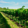 Vineyard landscape — Stock Photo #12241670
