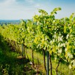Vineyard landscape — Stock Photo #12241671