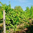 Vineyard landscape — Stock Photo #12241673