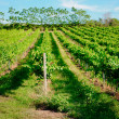 Vineyard landscape — Stock Photo #12241677
