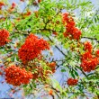 Blooming ashberry tree - Stock Photo