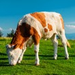 Cow grazing on meadow. — Stock Photo