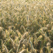 Wheat background in sunny day — Stock Photo