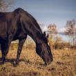 Stock Photo: Beautiful black horse feeding outdoors
