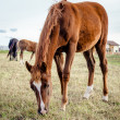 Beautiful brown horse feeding outdoors — Stock Photo #35242497