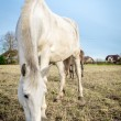 Beautiful white horse feeding outdoors — Stock Photo