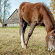 Stock Photo: Beautiful brown horse feeding outdoors
