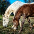 Beautiful brown and white horses feeding outdoors — Stock Photo