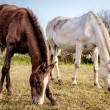 Stock Photo: Horses feeding outdoors