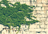 Old stone wall with green ivy  — Stock Photo