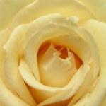 Beautiful fresh rose flower — Stock Photo #3390457