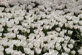 Tulips of Istanbul — Stock Photo
