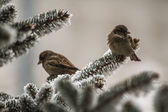 Sparrows on Spruce Branches — Stock Photo