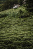 Tea Plantation and a Small Hut — Stock Photo