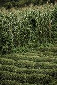 Cornfield, Near a Tea Plantation — Stock Photo