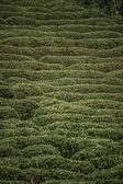 Tea Plantation on a Hillside — Stock Photo