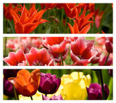 Collage from Different Colored Tulips — Stock Photo